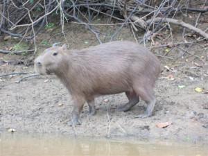 Un capibara nos observa desde la orilla