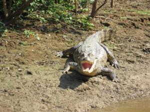 Un simpático caimán
